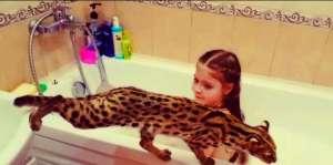 -азиатские леопардовые кошки - изображение 1