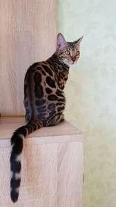 Бенгальская кошка Львов. Купить бенгальского кота Львов. - изображение 1