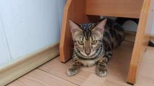 Бенгальские котята из питомника Bengalkiev - изображение 1