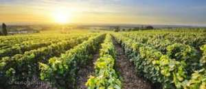 Виноградники на юге Франции - изображение 1