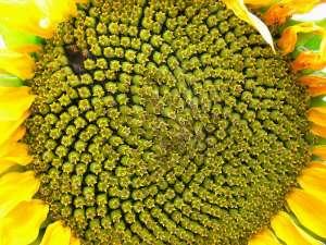 Досходові гібриди соняшнику під класичну технологію вирощування - изображение 1