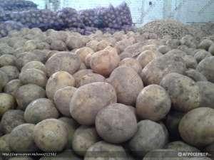 Картофель - изображение 1