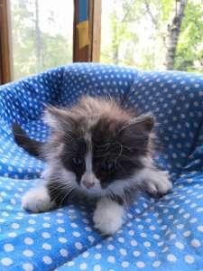 котенок (девочка) 1.5 мес - изображение 1