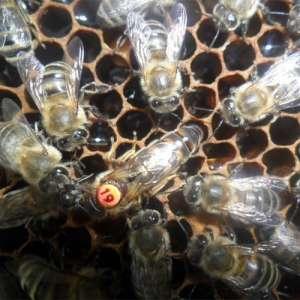 Купить плодную пчеломатку украинской породы - изображение 1