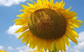 Насіння соняшника гранстаростійких гібридів КАРАТ, ТОЛЕДО, БАРСА - изображение 1