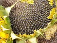 Насіння соняшнику Альварез/соняшник стійкий до євро-лайтнінг - изображение 1