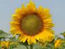 """Насіння соняшнику """"Карлос 105"""" під євро-лайтнінг"""