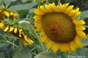 Насіння соняшнику під Гранстар (25 г/га та 50 г/га) - изображение 1