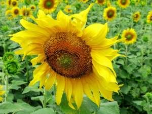НС ТАУРУС насіння соняшника під євро-лайтнінг - изображение 1