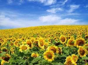 Одісей насіння соняшника сербської селекції під євро-лайтнінг - изображение 1