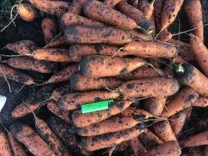 Опт морковь в Луцке. Самовывоз из г. Калуш - изображение 1