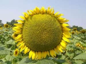 Посівний матеріал гібриду соняшнику під євро-лайтнінг - изображение 1