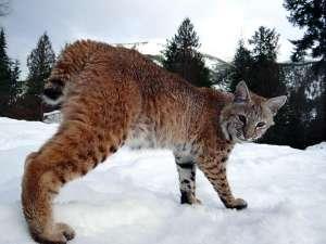 Продажа котят красивой РЫСИ!!!Канадской и Европейской рыси - изображение 1