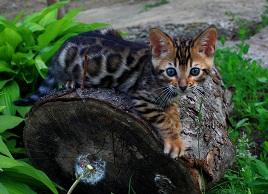 Продам бенгальских котят - изображение 1
