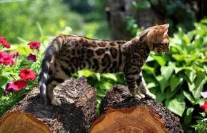 Продам бенгальскую кошечку - изображение 1