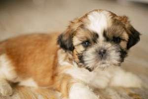 Продам щенков Ши-тцу. - изображение 1