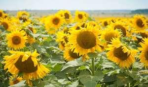 Толедо – насіння соняшнику толерантного до 50 г /га гранстару - изображение 1